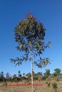 eucalyptus citriodora madagascar madatrano