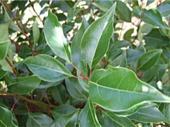 Ravintsara huile essentielle cinnamomum camphora madagascar - Sinusite huile essentielle ravintsara ...