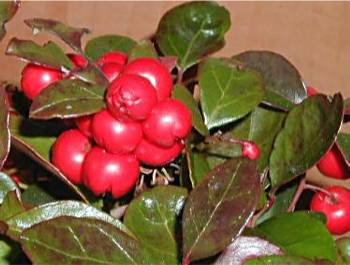 Gaultherie huile essentielle de gaultheria procumbens - Huiles essentielles gaultherie couchee ...